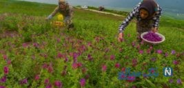 تصاویری زیبا از برداشت گل گاو زبان در نکا