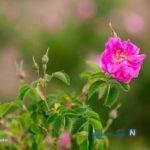 تصاویری زیبا از برداشت گل محمدی در دامغان