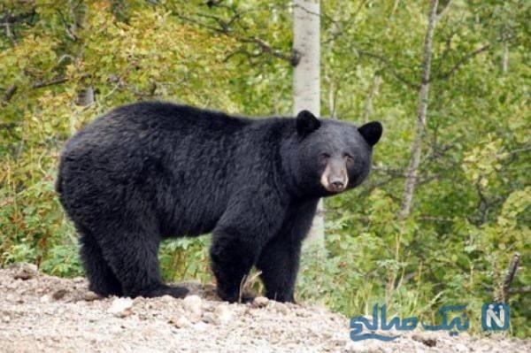 حضور خرس سیاه در داخل کمد اهالی خانه را شوکه کرد!