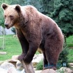 ماجرای خرس ایرانی که به خدمت سربازی رفت+عکس