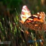 تصاویری از پروانه های زیبا و دیدنی در سنندج