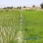تصاویری زیبا از کاشت برنج در شهرستان مبارکه اصفهان