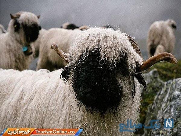 تصاویری جالب و دیدنی از بانمک ترین گوسفندان دنیا