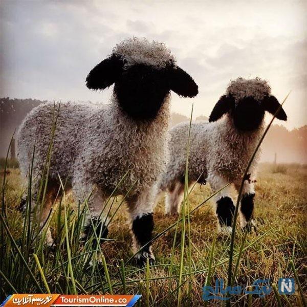 بانمک ترین گوسفند