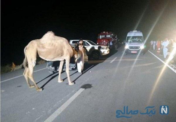 تصادف وحشتناک پژو با ۵ شتر در اصفهان