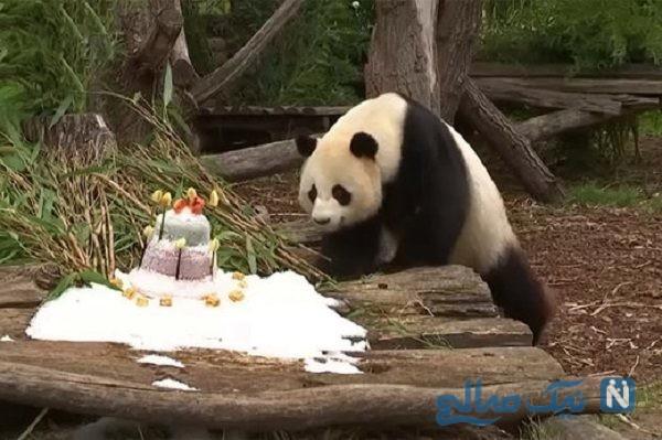 جشن تولد پاندا