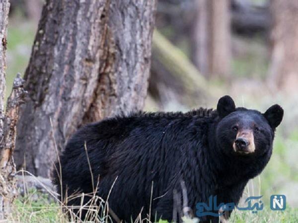 حمله سگ به خرس سیاه گرسنه در حیاط یک خانه