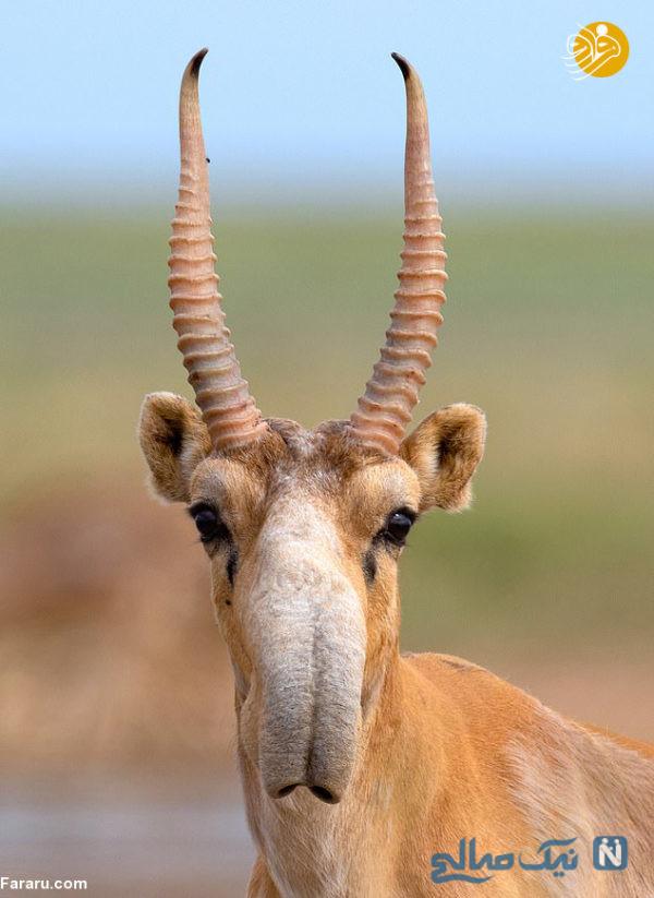 حیوان در حال انقراض