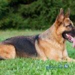 سگ ردیاب پلیس مدال خدمت دریافت کرد!