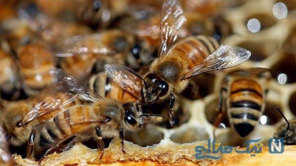 صحنه آهسته جالب از تصادف زنبورها در هوا