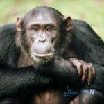 فرار تماشایی یک شامپانزه از باغ وحش و حمله به بازدیدکنندگان