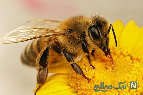 زنبوری که به تنهایی لانه عجیب و غریبی ساخت!