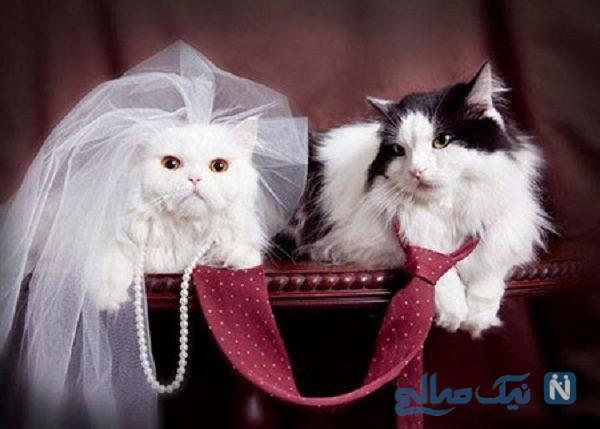 برگزاری مراسم بسیار لاکچری برای ازدواج گربه ها