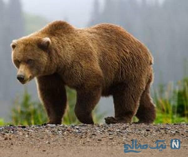 حمله خرس قهوه ای به یخچال خانه مسکونی
