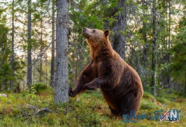 حمله خرس قهوه ای