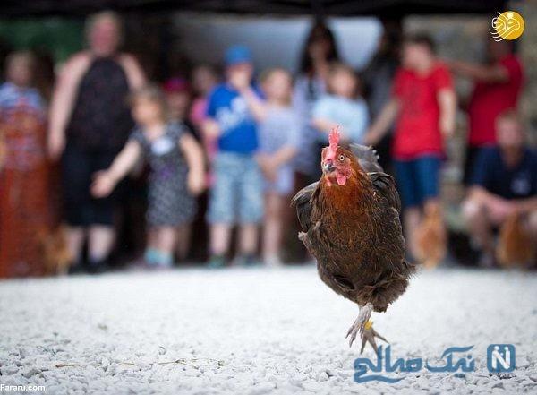 مسابقه دو و میدانی مرغ ها با حضور صدها نفر از مردم