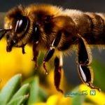 توقف یک مسابقه به دلیل حمله زنبورها به پرچم کرنر