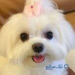 دزدیدن سگ ۴۰ میلیونی در سعادت آباد خبرساز شد!