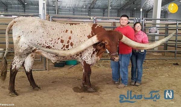 رکورد جهانی بلندترین شاخ برای این گاو در گینس