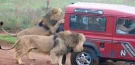 لحظه هولناک حمله شیر به گردشگران در پارک