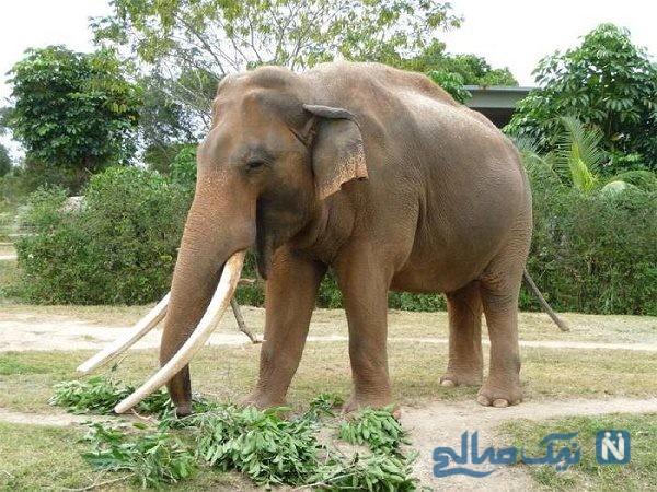 صحنه هایی دردناک از کشتن فیل سیرکی که مربیش را کشته بود