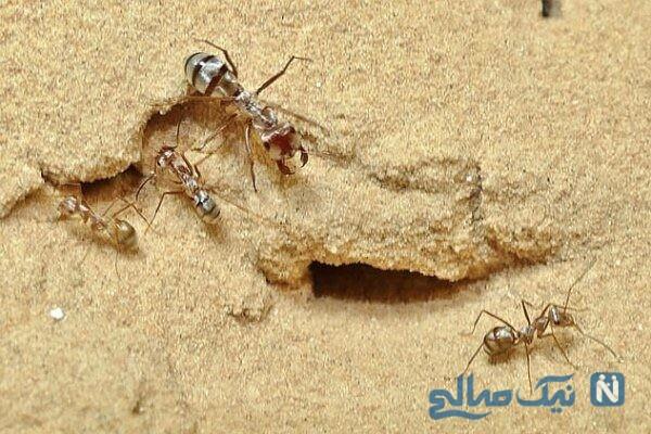 سریع ترین مورچه جهان