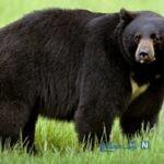 حمله هولناک خرس گرسنه به یک مدرسه ابتدایی ، ببینید