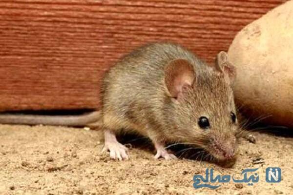 خرید موش های کوچک زنده از وانت بارها جهت صرف غذا