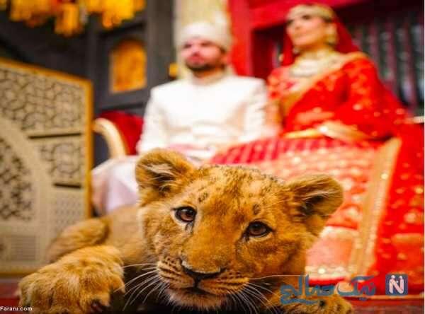توله شیر در مراسم جشن عروسی