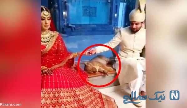 حضور توله شیر در عروس و داماد جوان
