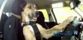 ویدیوی عجیب و باورنکردنی از رانندگی سگ