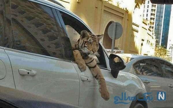 دختر عربستانی با حیوان خانگی وحشتناک در حال قدم زدن