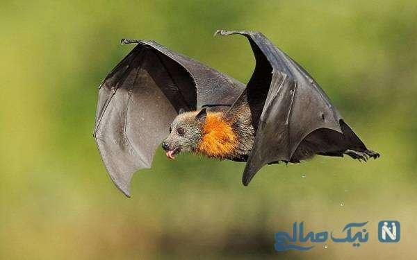 قفس های خفاش در آزمایشگاه بد نام ووهان چین کشف شد!