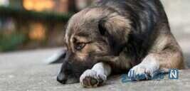 لحظه ی غمناک دفن توله سگ مرده توسط مادرش , ببینید