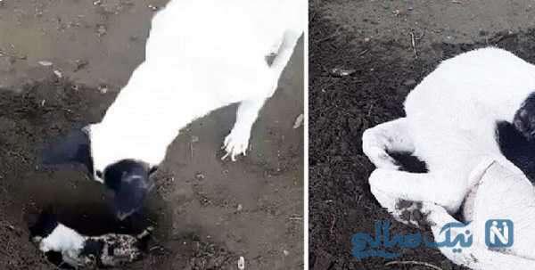 دفن توله سگ مرده توسط مادرش