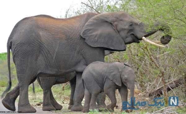 ویژگی عجیب فیل ها