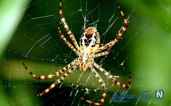 تار تنیدن باور نکردنی عنکبوت واقعا عجب نظمی داره !!!