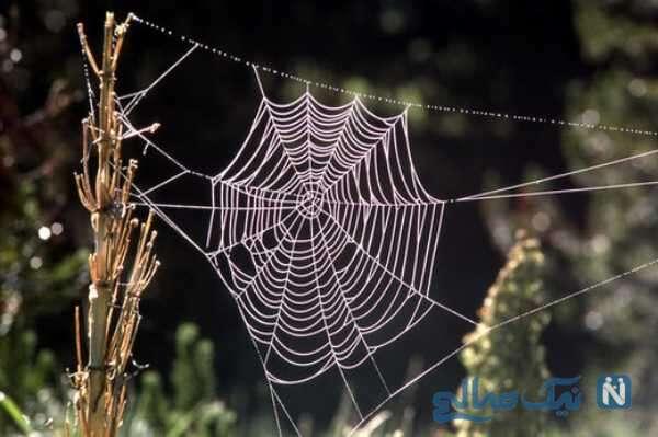 تار تنیدن عنکبوت عجیب و باور نکردنی