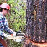 نوعی درخت بومی آفریقای جنوبی که با قطع شدن خونریزی میکند!