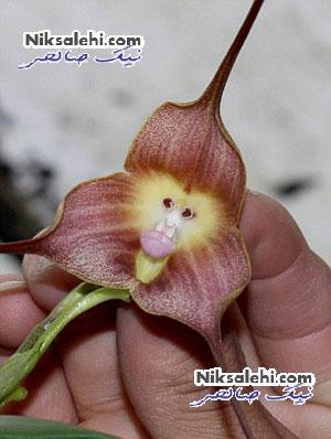 گل بسیار عجیب یافت شده با صورت شبهه حیوانی