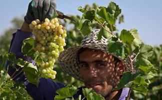 قزوین و آداب و رسوم برداشت محصولات کشاورزی این شهر!+تصاویر