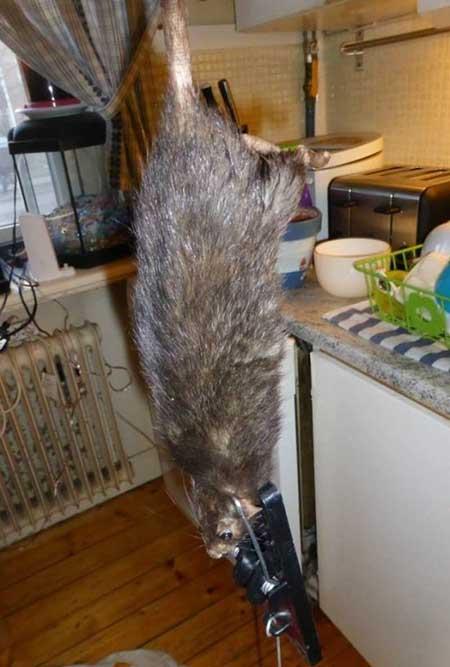 غول پیکرترین موشهای خانگی دنیا  تصاویر