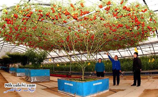 تصاویر دیدنی از درخت عجیب گوجه فرنگی هشت پایی