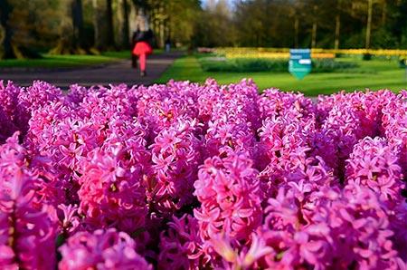 تصاویر بی بدیل از باغ اروپا یا پارک سلطنتی گل در هلند