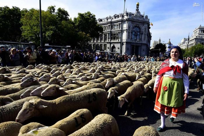 راهپیمایی گوسفندها در مادرید  تصاویر