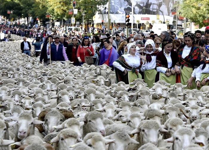 راهپیمایی گوسفندها در مادرید