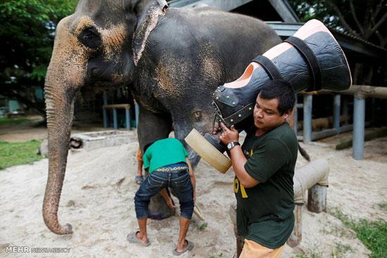 ساختن پای مصنوعی برای فیل هایی که در اثر انفجار مین پاهای خود را از دست داده اند! تصاویر