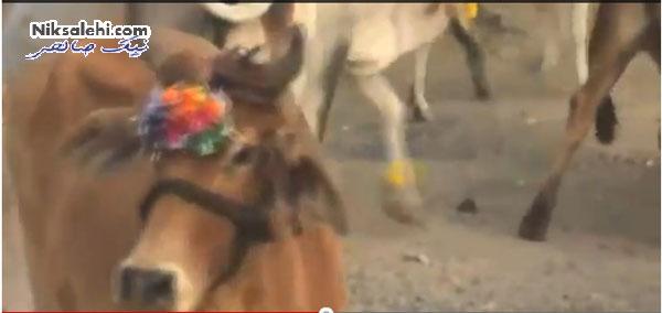 له شدن زیر سم گاوها برای استجابت دعا