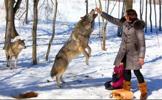 خانوادهای که گرگ، حیوان خانگیشان است