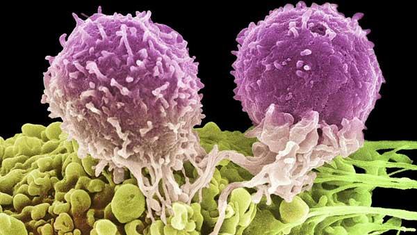 گیاه مورینگا میتواند سرطان تخمدان، کبد، ریه و خون را مهار کند